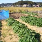 秋野菜、収穫中!