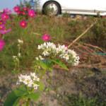 生き残った静岡在来のソバに花!
