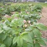 ジャガイモの花
