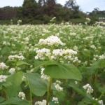播種35日後のソバ畑