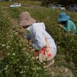 ソバ畑で開花観察会