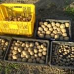 ジャガイモ収穫開始