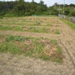 6月のソバ畑