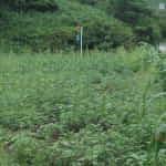 雑草を栽培?!