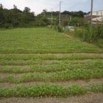 その後のソバ畑