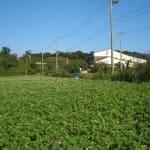 播種後1か月のソバ畑