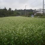 蕎麦畑 2