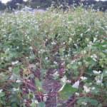 台風通過後のソバ畑!