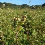 結実期のソバ畑