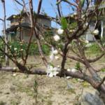 庭の果樹に新芽が!